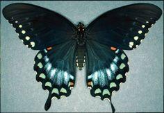 Spicebush Swallowtail Butterfly ..... most plentiful butterfly in our yard!
