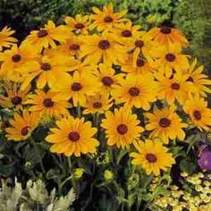 Rudbeckia, Black Eyed Susan is a doddle to grow and makes an uber useful cut flower.