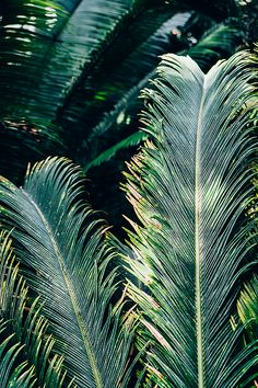 Exotic, tropical palm tree leaves in a teal blue color - photography prints and canvas