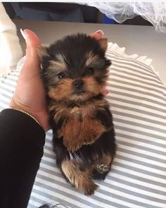 More About Yorkshire Terrier Facts Baby Source by asimfloyd The post Yorkshire Terrier Recien Nacidos appeared first on Sellers Canines. Cute Baby Dogs, Cute Little Puppies, Cute Dogs And Puppies, Cute Baby Animals, Animals Dog, Micro Teacup Yorkie, Teacup Puppies, Teacup Pomeranian, Pomeranian Dogs