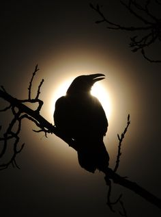 Raven in front of the sun. Raven Pictures, Bird Pictures, Pictures To Draw, Sirius Black, Goblin, Crows Drawing, Crow Painting, Raven Bird, Beautiful Dark Art