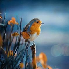 Robin......#Amazing #Awesome #Cool #Colors #Magic #Majestic #Dream #Dreamers #Serenity #Zen #Lit #Life #Live #Love #Light #Hope #Harmony #Horizons #Idyll #Imagine #Inspired #Incredible #Follow #PhotOfTheDay #Wonderland #Fairytale #Robin #Spring #Awakening #Bird