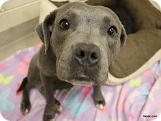Fort Wayne, IN - Pit Bull Terrier Mix. Meet Paige, a dog for adoption. http://www.adoptapet.com/pet/18063253-fort-wayne-indiana-pit-bull-terrier-mix