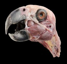 Anatomy Reference Grey parrot (Psittacus erithacus erithacus) superficial dissection of the head. Anatomy Bones, Skull Anatomy, Head Anatomy, Animal Anatomy, Anatomy Reference, Art Reference, Animal Drawings, Cartoon Drawings, Bird Bones