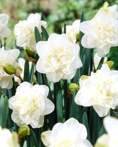 Narcissi double 'White Medal' Daffodil from ADR Bulbs Unique Flowers, Beautiful Flowers, Daffodils William Wordsworth, Amaryllis, Crocosmia, Garden Bulbs, Moon Garden, Spring Bulbs, Bulb Flowers