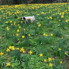 #morning #dogwalk #daffodils