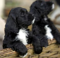Gorgeous sprockerpoo puppies for sale