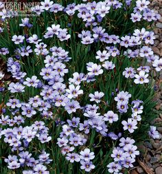 Sisyrinchium 'Devon Skies' - This showy, grass-like clumper is covered with dozens of large, sky-blue flowers for weeks in early summer atop deer resistant foliage. It blooms all summer in the NE and South tolerating heat, humidity, poor soils, and drought as long it has good drainage. Super in the rock garden or front of the border. (It's sterile too!) S. 'Devon Skies' was found in Edmund and Rita Heaton's UK garden (the National Collection Holders for Sisyrinchium).