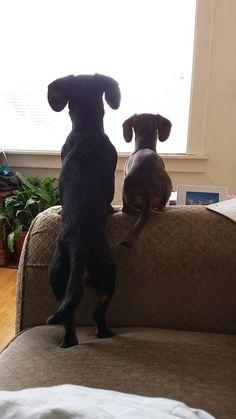 "pawsforpets: "" dachshunds (via Pinterest) """