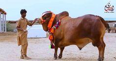 Qurbani in Pakistan and Bangladesh Has Grown Into A Billion Dollar Industry Ritual Sacrifice, Islamic Society, Eid Al Adha, Social Events, New Age, Camel, Religion, Horses, Daily News