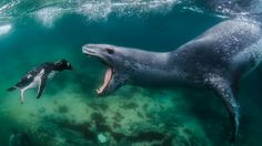 Leopard Seals - diving and filming in Antarctica (4K)