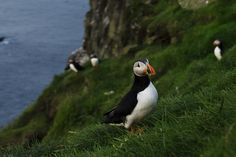 Maybe we weren't paying attention, or maybe we just didn't check out all the tourist information before going. But we did not know that we would meet thousands of puffins on Mykines! Scotland, Horses, Let It Be, Friends, Blog, Animals, Amigos, Animales, Animaux