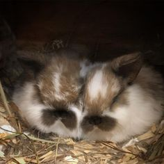 These two are quite special to me. Their great-grandmother was my first holland lop doe I had. Their grandmother was born in my bathroom. Wyatt won his first Best of Breed with her and she now lives in his bedroom. Their mama is my favorite girl I have who I won my first Best Opposite of Breed with, and now hopefully these two little ladies will keep carrying this legacy on in my rabbitry.
