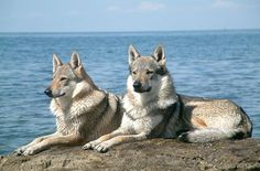 The Czechoslovakian Vlcak or Czech Wolf Dog is a relatively new breed of dog first bred as a military attack dog. This breed is the result of an experiment in 1955 that involved crossing 48 working line German Shepherds with Carpathian wolves.