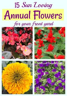 15 Best Annual Flowers for Full Sun - Intelligent Domestications - Sun Loving Annual Flowers to plant in your front yard this Spring. See this list of Annual Flowers to plant full sun. Full Sun Flowers, Full Sun Plants, Sun Loving Plants, Amazing Flowers, Colorful Flowers, Spring Flowers, Diy Flowers, Yellow Flowers, Landscaping With Rocks