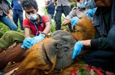 After being shot in the chest, marooned in a tiny forest patch and left for dead, a critically endangered Sumatran orangutan was brought to safety in Indonesia last week.    Villagers alerted authorities to the ape's presence in the forest, and a team of rescuers set out Friday to relocate the doomed animal, who was in the way of developers looking to expand palm oil plantations.