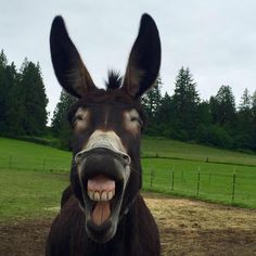 If you wonder what a donkey can eat, you can find all important feeding facts here. Take good care of your donkey with best information. Smiling Animals, Happy Animals, Farm Animals, Animals And Pets, Funny Animals, Cute Animals, Beautiful Horses, Animals Beautiful, Cute Donkey