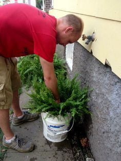 Huge Lush Ferns Submerge Pot Every Few Days In Bucket With Gallons Of Water And Cup Epsom Salt For Hours The Shade