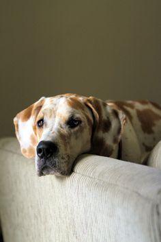 Dog:  Great Dane