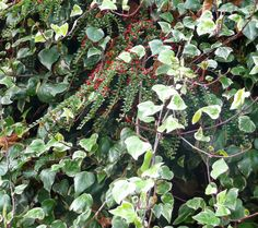 Hedra and Cotoneaster good wildlife friendly cover for a wall