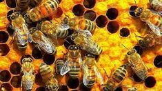 Two Australian apiarists have come up with an ingenious way to harvest honey without disturbing delicate bee populations. Save The Planet, Colonial, Bees, Harvest, Honey, Delicate, Animals, Relationships, Google Search
