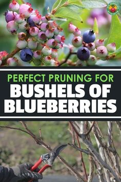 Knowing when the right time is for pruning blueberries and how to do it will guarantee you bountiful berry harvests! Our guide reveals all. Veggie Gardens, Fruit Garden, Vegetable Gardening, Gardening Tips, Prune Fruit, Pruning Fruit Trees, Blueberry Fruit, Blueberry Bushes, Patio Ideas