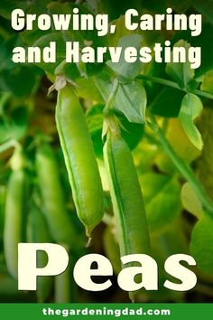 Learn easy and quick tips for Growing, Harvesting, & Using Peas! Tips include how to grow peas from seed, in pots, indoors, along with tips on caring, harvesting, and uses! #peas #vegetables #gardening