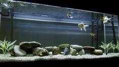 Lovely 55 gallon goldfish tank.