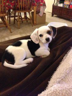 Beagle/chihuahua mix! It's a cheagle