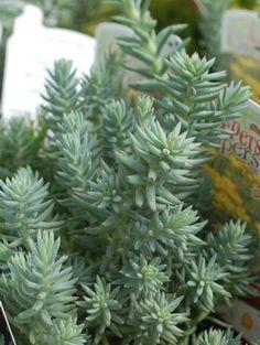 Sedum reflexum Blue Spruce Stonecrop from Prides Corner Farms