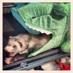 BREAKING: Ferret Escapes From Alligator Jaws