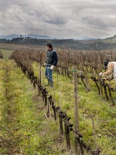 winter pruning in the sangiovese Vineyard for Brunello di Montalcino Col d'Orcia