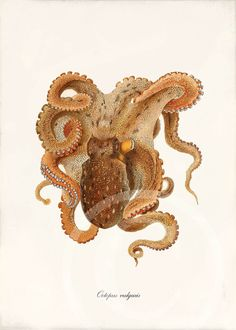 Antique Octopus Art Print