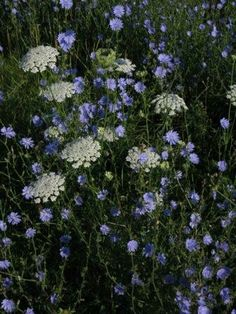 Queen Anne's Lace & Chicory