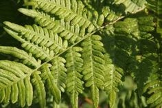 bracken fern - root tea: kills worms and heals spleen; root ointment: heals wounds; leaves eaten: stomach cleanser; burned: wards off bugs/gnats; put into wine: keeps it from souring - COMMON PLANTS of WISCONSIN