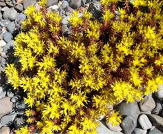 "Chocolate Ball Sedum - Hardy Perennial Groundcover - 2"" Pots"