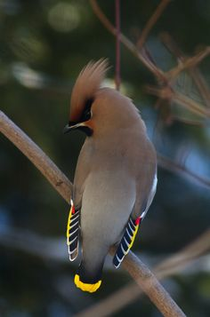 Beautiful Waxwing by ressaure on Flickr.  One of my all-time favourite birds