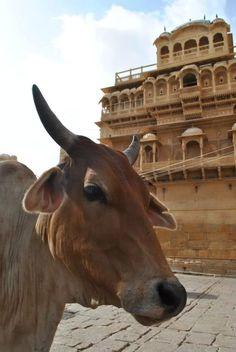 Vaca hindu. Jaisalmer, India.