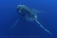A Humpback Whale in Tonga.  (© Photo By: Tony Wu.)