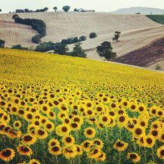 "@larsenio's photo: ""#instago #instagramers #igerspescara #igers #instadaily #ipopyou #instagramhub #instamood #insta_sleep #igersitalia #ig_daily #igersmarche #instagood #gf_italy #golosidifuturo #gang_family #GCS #marche #sunset #sunflowers #all_shots #bestoftheday"""