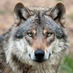 Der Eurasischer Wolf.