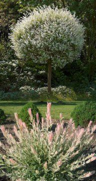 Japanische Harlekinweide - Salix integra Hakuro Nishiki günstig online kaufen