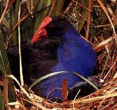 A Pukeko in a Ponga Tree - (The 12 Days of Christmas) - New Zealand and Maori Children's Songs - New Zealand - Mama Lisa's World: Children's Songs and Rhymes from Around the World