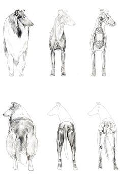 Smooth Collie, Rough Collie, Collie Dog, Dog Illustration, Medical Illustration, Illustrations, Animal Sketches, Dog Sketches, Dog Anatomy