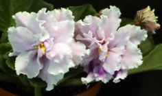 african violet Louisiana Lullaby pair of leaves