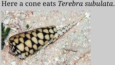 Conus marmoreus ( 'Marble Cone' ) eat exclusively other snails in mollusc shells ( they are called 'molluscivores' - Cone snails are either (a) piscivorous/fish-eaters, (b) molluscivorous/mollusk-eaters, (c) vermivorous/worm- eaters, or (d) omnivorous ), we find them eating other groups including augers (Terebridae), turbans (Turbinidae), and cowries (Cypraeidae).