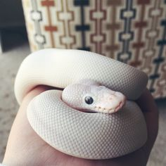"""master-haku: """" I finally got the snake of my dreams. Meet my new baby boy, Haku. (白) """" Baby Snakes, All About Snakes, Cool Snakes, Cute Reptiles, Cute Snake, Quokka, Ball Python, New Baby Boys, Cute Baby Animals"""