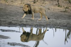 Photograph Reflections on Cecil by Brent Stapelkamp on 500px Big Cats, I Love Cats, Animal Fashion, Beautiful Cats, Animals Beautiful, Cheetahs, Leopards, All About Cats, Animals Of The World