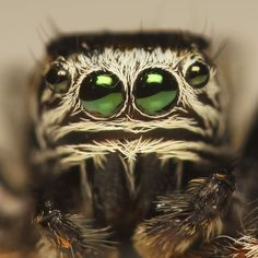Up close, you can look into (some) of this jumping spider's eyes.