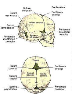 Resultado de imagen para suturas del craneo con  su nombres